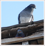 Mount Jackson Bird Removal