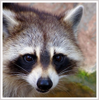 Oakton Raccoon Removal