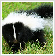 Mount Jackson Skunk Removal